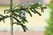 Oriental spruce shoots in spring