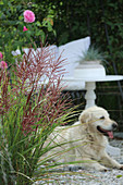 Blossoming Chinese reed, rose and dog on the terrace