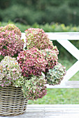 Basket of hydrangeas 'Endless summer'