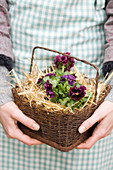 Hands holding basket containing straw and purple voilas