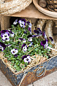 Purple violas and straw in old metal crate