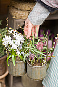 White Siberian squill in metal cutlery holder