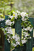 Wreath of fruit blossom on weathered green garden gate