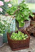 Seedlings in rustic wire basket