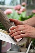 Papier wird um Holzpflock gebogen um einen Anzuchttopf zu basteln