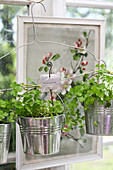 Parsley plants in hanging basket made from wire coat hanger and metal buckets