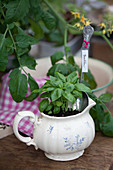 Basil planted in milk jug with plant label made from old spoon