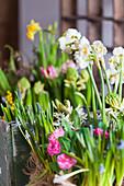 Narcissus, grape hyacinths and ranunculus