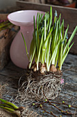 Grape hyacinths with bulbs and roots