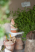 Thyme and rustic terracotta pots on shelf