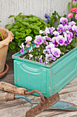 Purple violas in old, turquoise metal container