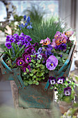 Purple and lilac violas planted in old tool box