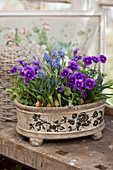 Purple violas and grape hyacinths planted in dish