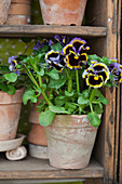 Viola in terracotta pot and collection of plant pots on shelves