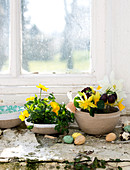 Pansies, daffodils and Turkish checkerboard flowers on the window