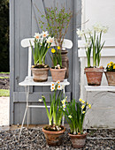 Various daffodils in terracotta pots on garden chairs in the yard