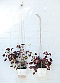Red clover in hanging baskets on a white brick wall
