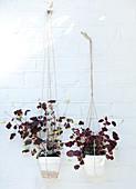 Roter Klee in Blumenampeln an weißer Backsteinwand
