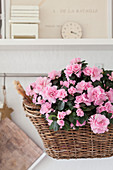 Pink-flowering azalea planted in basket
