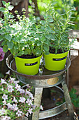 Oregano and rosemary in green plant pots with labels