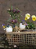 Schachbrettblumen , Stiefmütterchen und Eierschalen in einem Korb