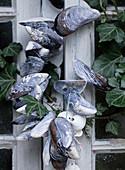 Muschelkette aus Miesmuscheln am Fenster mit Efeu