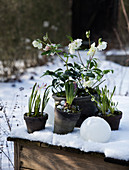 Hellebores, pink squills, hyacinths and grape hyacinths in the snow