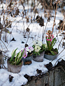 Clay pots with tulips, primroses, anemones, and hyacinths in the snow