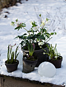 Hellebores, grape hyacinths, hyacinths and pink squills in the snow
