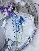 Homemade pendants made of ice with grape hyacinths