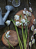 Spring cups, snowdrops, and pussy willow on wooden discs