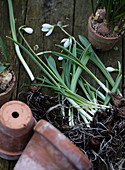 Snowdrops with onions in front of clay pots