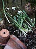 Schneeglöckchen mit Zwiebeln vor Tontöpfen