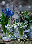 Grape hyacinths, spring cups, ivy, and snowdrops in glass vases
