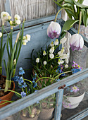 Tulips, daffodils, and grape hyacinths in a cold frame
