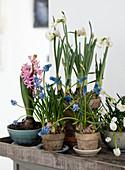 Hyacinths, daffodils and grape hyacinths in plant pots