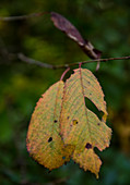 Autumn leaves on the branch