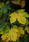 Herbstblätter am Zweig