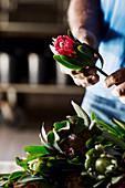 Hände halten Blüte von 'Protea Obtusifolia'