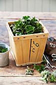 Fresh nettle leaves in chip-wood box