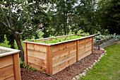 Lettuces in wooden raised bed in garden