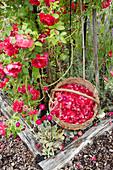 Korb mit frischen Rosenblüten im Garten neben dem Rosenstrauch