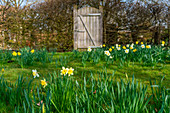 Flowering daffodils in the lawn