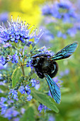 Carpenter bee on purple valerian blossoms