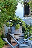 Wilted hydrangea in a zinc planter