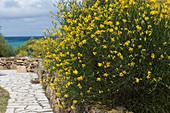 Blossoming Salzmann's gorse in Sardinia