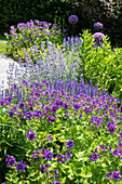 Blue shrub bed with cranesbill, wild sage, and catmint