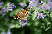 Painted lady on catmint