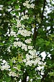 Blooming hawthorn
