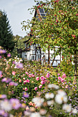 Bed of roses next to crab apple tree in autumn garden